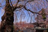 温泉寺のシダレザクラ(B樹)