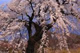 高木のシダレザクラ