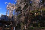 瀧水寺のイトザクラ