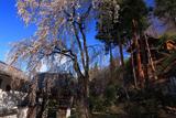 瀧水寺のしだれ桜