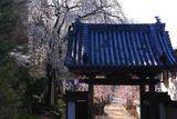 瀧水寺のシダレザクラ