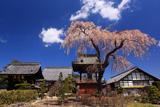 信広寺の桜