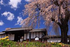 信州上小の桜