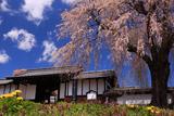 上小地域の桜