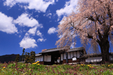 信広寺のしだれ桜