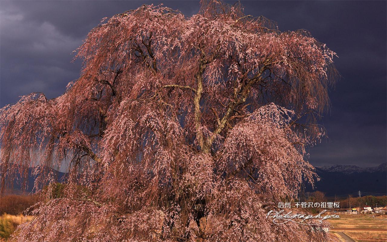 下菅沢の祖霊桜 壁紙