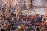 高木の枝垂れ桜