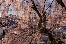 高木のしだれ桜