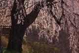 士族墓地のしだれ桜