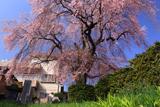 小坂中村地籍のしだれ桜