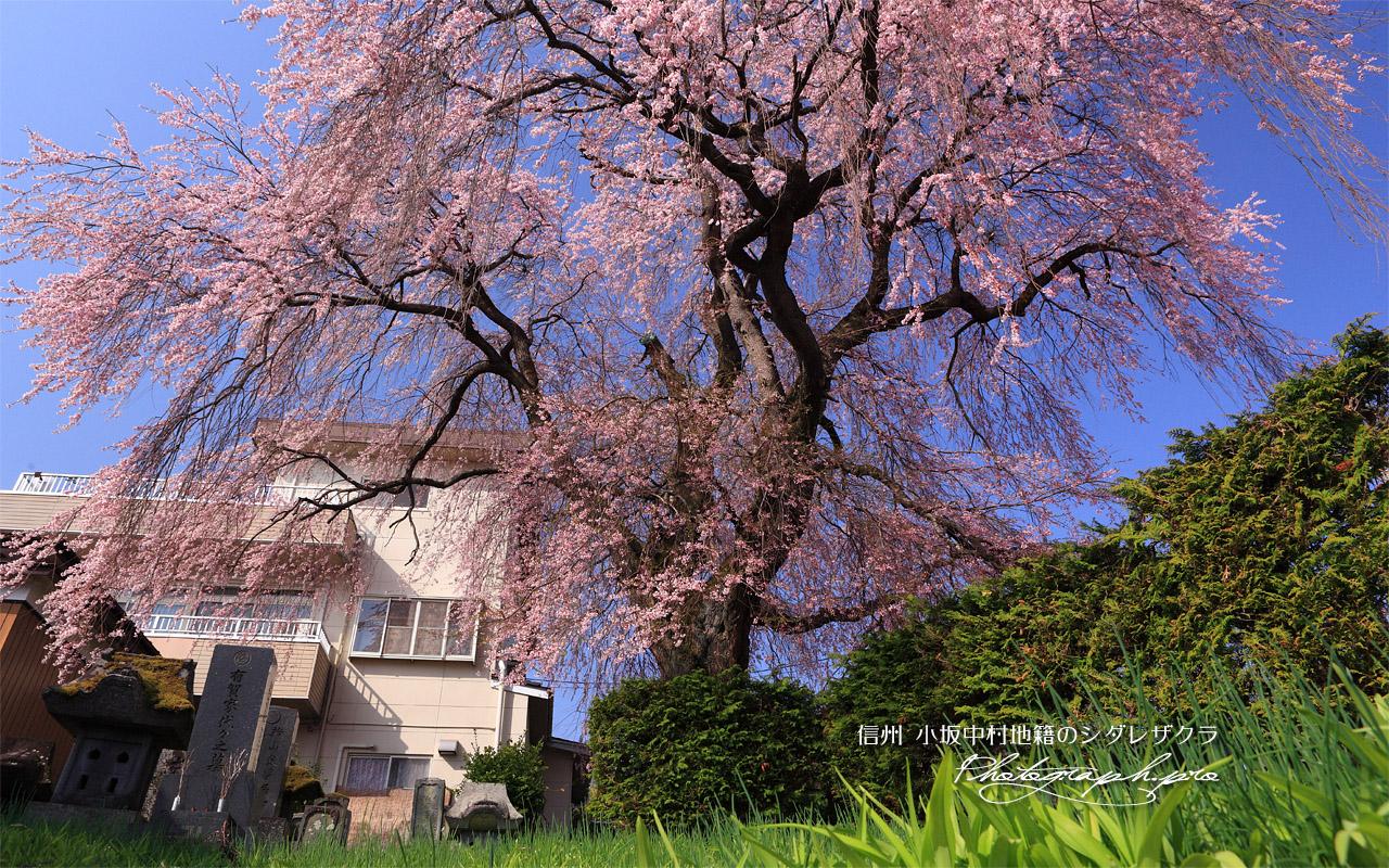 小坂中村地籍のしだれ桜 壁紙