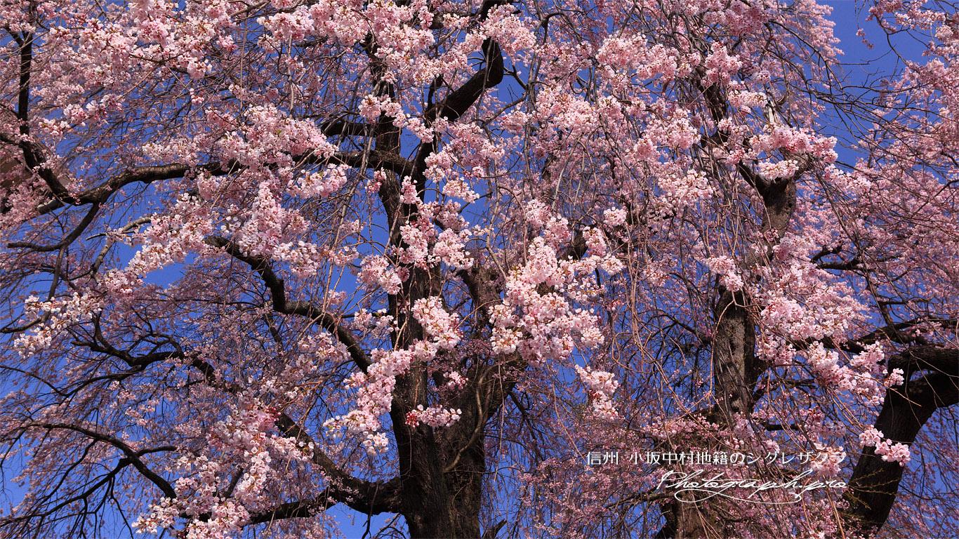 小坂中村地籍の枝垂桜 壁紙