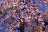 小坂中村地籍の枝垂桜