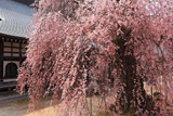 昌福寺のシダレザクラの大樹