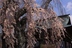 今井観音堂枝垂桜