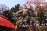 古御堂の枝垂桜