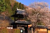 信定寺の桜