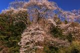 中山道和田宿のエドヒガン桜