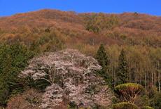 中山道宿場桜