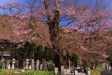 大布施のひがん桜