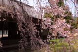 阿鳥川神社のシダレザクラ