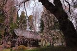 阿鳥川神社の枝垂れ桜