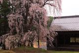 阿鳥川神社のしだれ桜