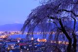 高木の枝垂桜