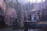 長谷寺しだれ桜