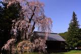 阿鳥川神社の枝垂桜