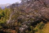 赤倉崖下の桜