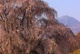 下菅沢の祖霊桜