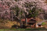 一石栃の枝垂桜