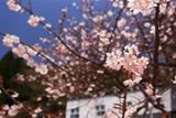 浪合学校のあおいの桜