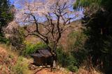 大野庚申堂の枝垂桜