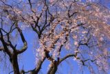 玉林院天神山のしだれ桜