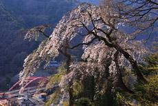 新田墓地のしだれ桜