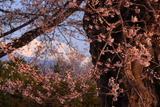 高根町曽根田の桜