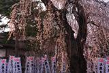 大黒町追分の枝垂桜