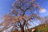 来鳳枝垂桜