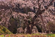成就院来鳳枝垂桜