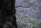 素桜神社神代桜