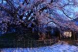 素桜神社の素ザクラ