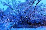 素桜の神代桜