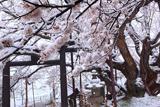 素桜神社の神代ザクラ