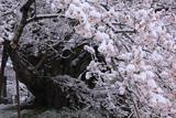 素桜神社の江戸彼岸桜