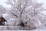 素桜神社のサクラ