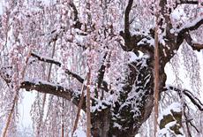 信州長野の桜