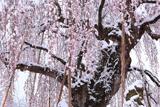 長野地域の桜