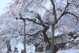 曹源院の枝垂桜